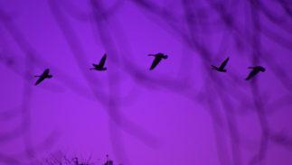 photo credit: joiseyshowaa Dusk Flight of the geese via photopin (license)