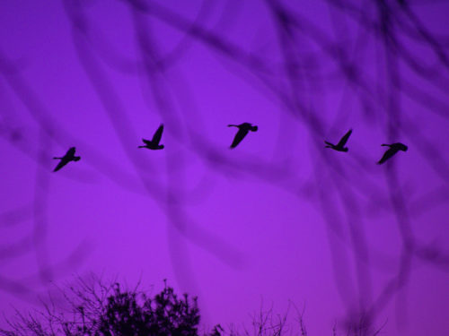photo credit: joiseyshowaa Dusk Flight of the geese via photopin (license)