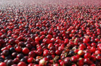 FILE - This Thursday Oct. 11, 2012 photo shows cranberries in a field in South Haven, Mich. In a study published Thursday, Oct. 27, 2016 in the Journal of the American Medical Association, cranberry capsules didn't prevent or cure urinary infections in nursing home residents. The research adds to decades of conflicting evidence on whether cranberries in any form can prevent extremely common bacterial infections.