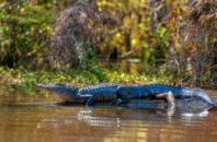 alligator-crocodile