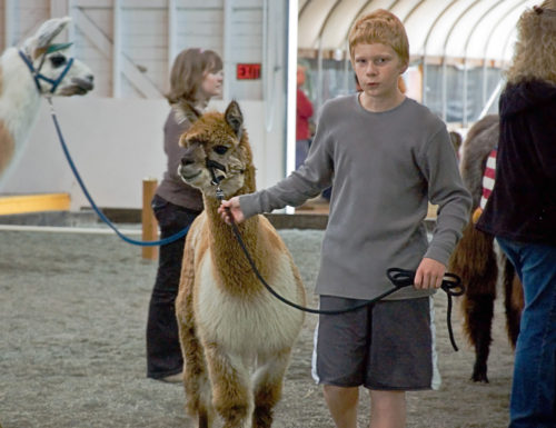 An unidentified teen showing his alpaca at Skagit County Fair on August 13, 2009 in Mt Vernon, WA.