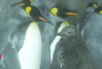Two adult penguins and a chick