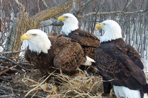 Valor I, Valor II, and Starr are raising three eaglets together in a nest in Illinois near the Mississippi River