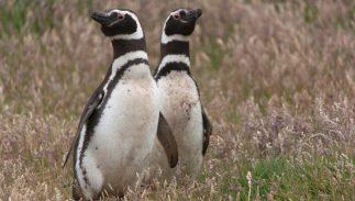 A pair of Humboldt penguins