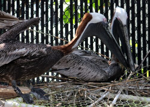 Pepe and Enrique, two Brown Pelicans that are